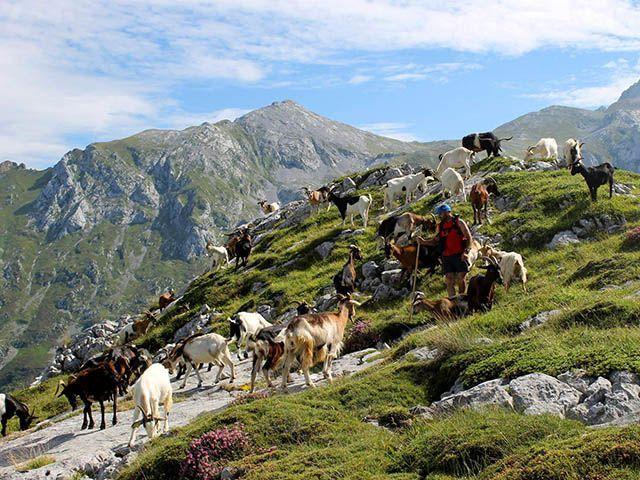 Cabras para obtener leche para el queso de Cabrales
